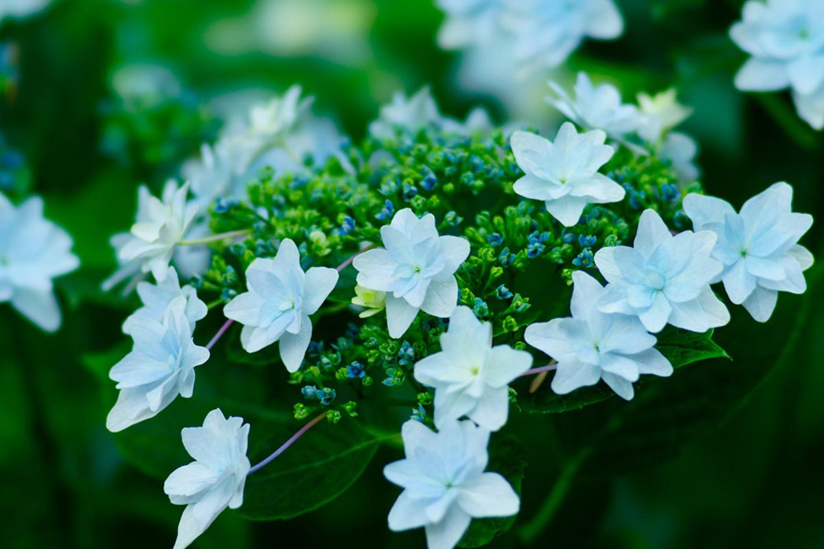 紫陽花・ガクアジサイ