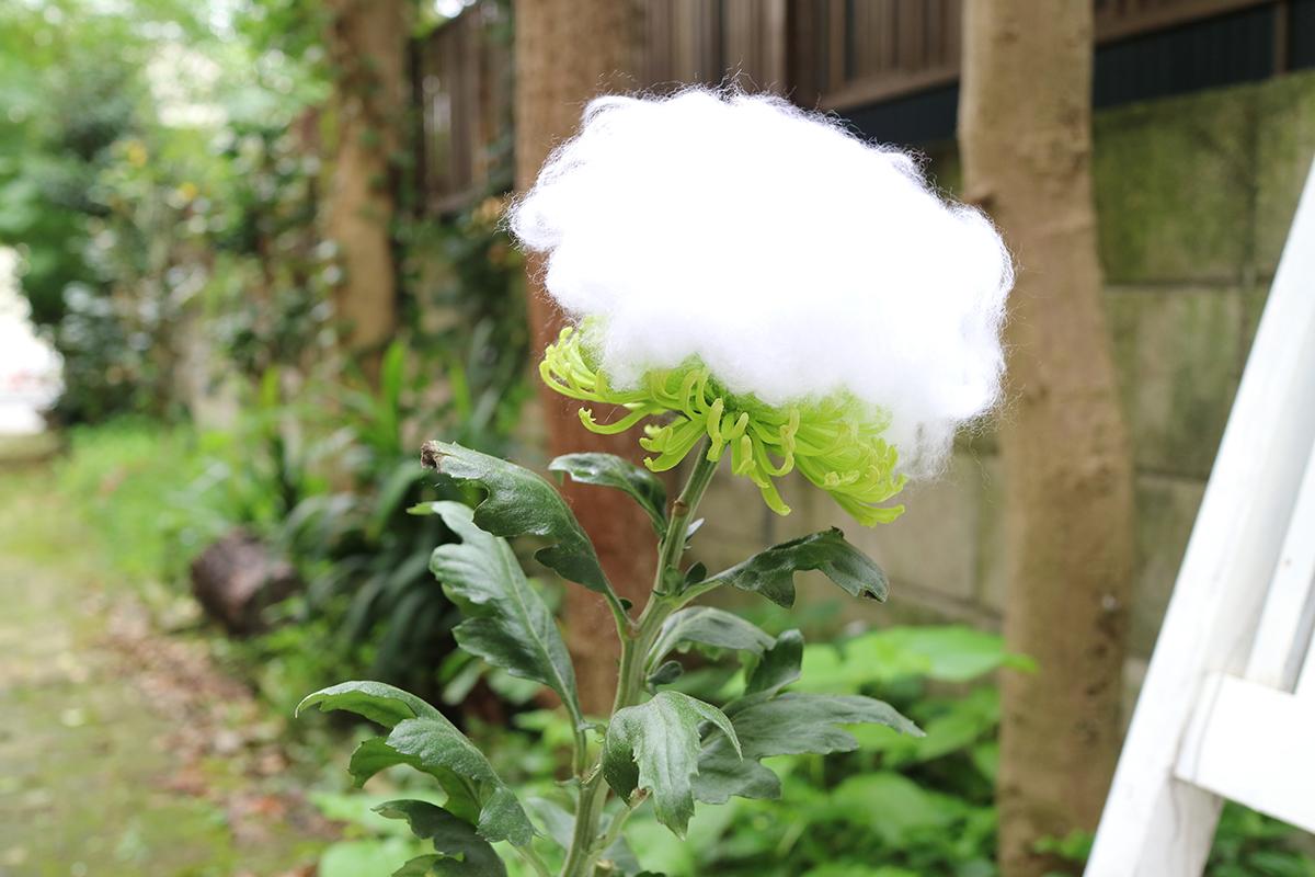 重陽の節句・菊の着せ綿