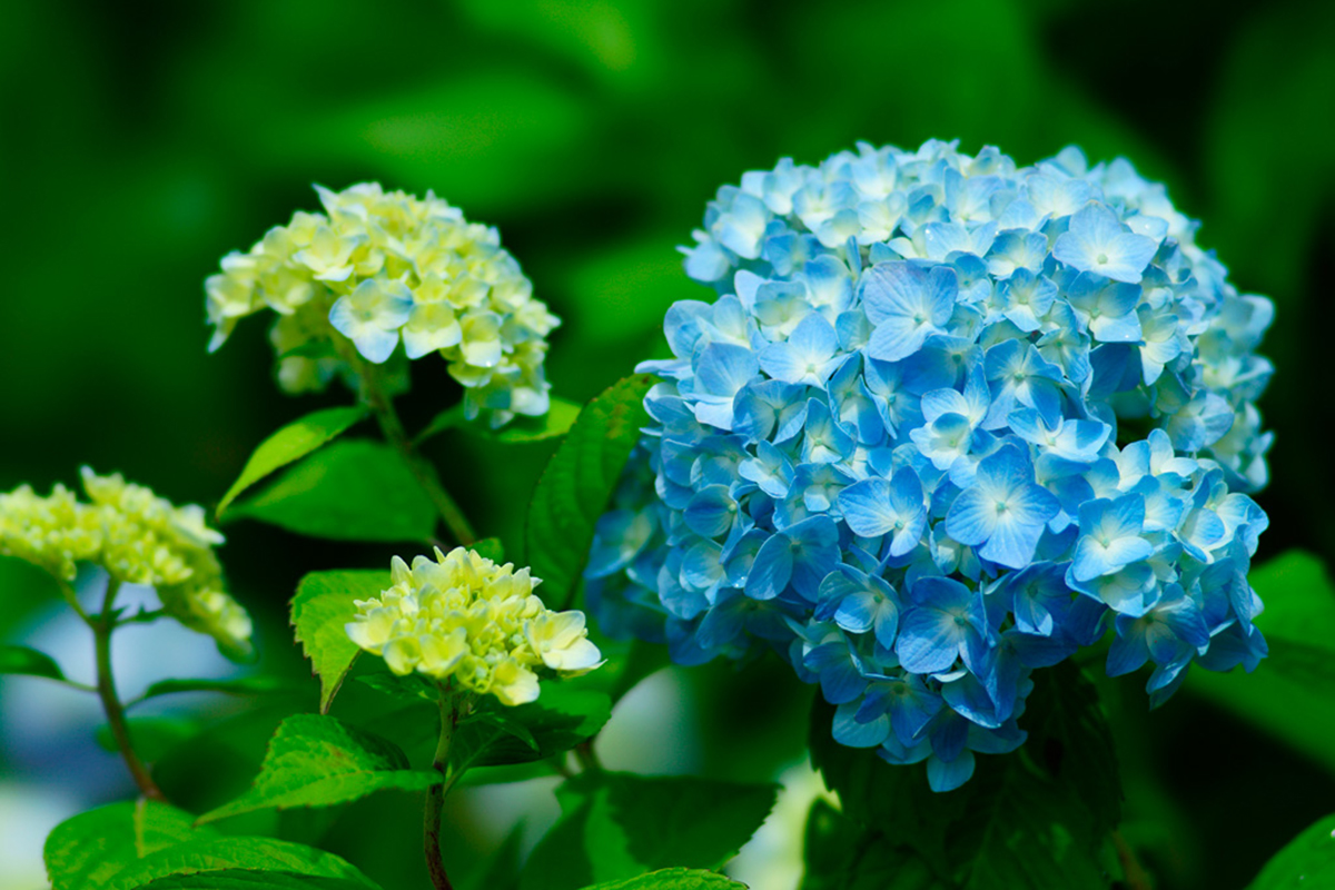 紫陽花・セイヨウアジサイ